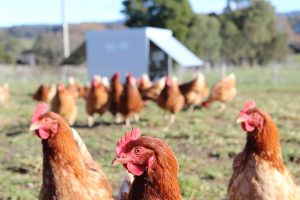 pasture; happy hens; free range; chicken caravan