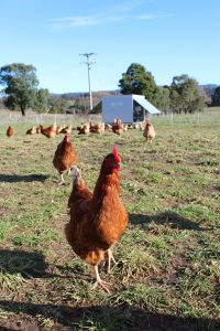 pasture; free range; caravan; happy hens; Launceston